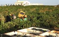 North African vineyards